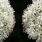 Allium  Twins by EUNAN SWEENEY