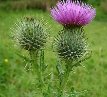 Scottish Thistle by stuart powell
