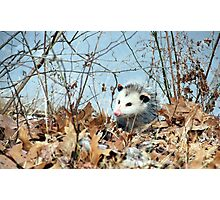 Playful Possum Photographic Print