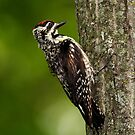 Yellow-bellied Sapsucker by Jim Cumming