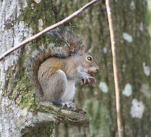 Grey Squirrel by floridan
