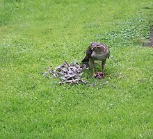 sparrowhawk lunchtime by sparkieroy