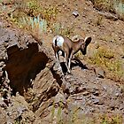 Big Horn Sheep by Barb Miller