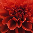 Red Dahlia by BonnieJames