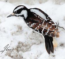 A Leucistic Female Hairy Woodpecker by DigitallyStill