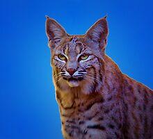 Bobcat - Sonoran Desert Museum, Tucson, Arizona by John Absher