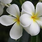 frangipani by aussieazsx