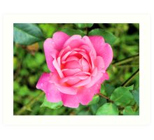 Beautiful Pink Rose Art Print