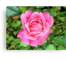 Beautiful Pink Rose Canvas Print
