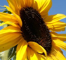 Sunflower at the pumpkin patch  by ppearlphotos