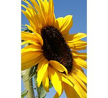 Sunflower at the pumpkin patch  Photographic Print