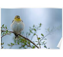 American Goldfinch in its Winter Coat Poster