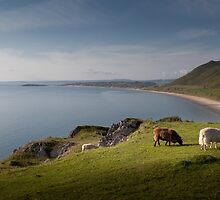 Sheep at Rhossili bay by leightoncollins
