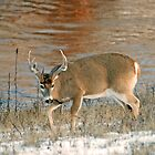 Broken Tine Whitetail by Rodney55