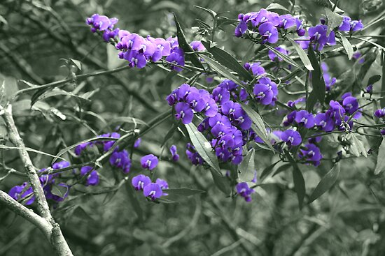 Purple Coral Pea (hardenbergia violacea) by Elaine Teague