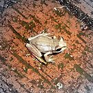 Froggy by Clare101