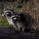 Raccoons by ChickenSashimi