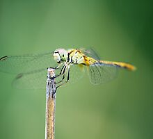 Dragonfly by Steve Chapple