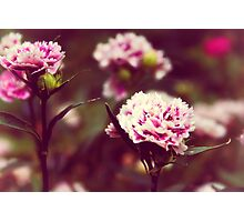 Pink carnations Photographic Print