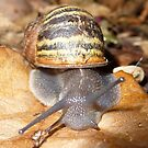 Snail 2 by Clare101