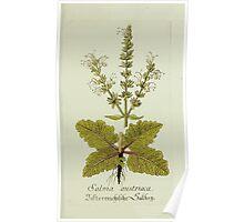 Plantarum Indigenarum et Exoticarum - Lukas Hochenleitter und Kompagnie 1788 - 014 - Salvia Austriaca or Austrian Sage Poster