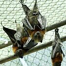 Flying Foxes just hanging around, Healesville Sanctuary by BronReid
