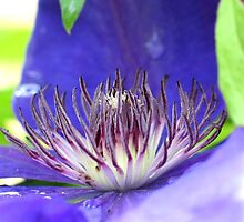 Clematis Center 5 by art2plunder