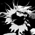 sunflower by Anthony DiMichele