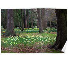 Daffodill Wood Poster