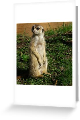 ComparetheMeerkats #2 by Trevor Kersley