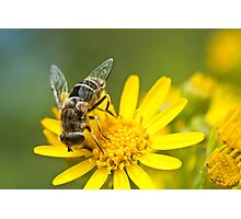 Ragwort feast Photographic Print