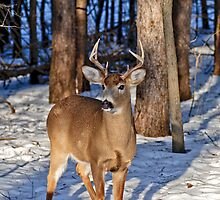 Deer Buck in morning forest - Ottawa, Ontario by Michael Cummings