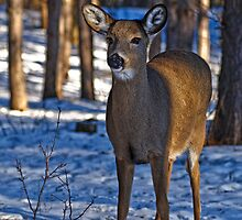 Doe Deer in morning forest - Ottawa, Ontario by Michael Cummings