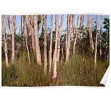 Melaleuca Trees in Florida Everglades Poster