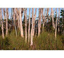 Melaleuca Trees in Florida Everglades Photographic Print