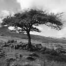 Lone  Hawthorn . Connemara . Ireland by EUNAN SWEENEY