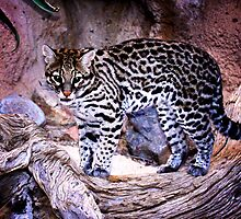 Nice Kitty Cat - Ocelot - Tucson, Arizona by John Absher