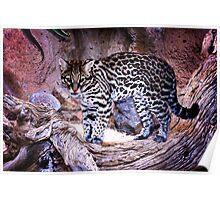 Nice Kitty Cat - Ocelot - Tucson, Arizona Poster