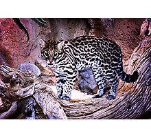 Nice Kitty Cat - Ocelot - Tucson, Arizona Photographic Print