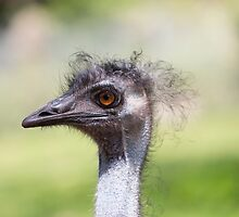 A Head shot of Emu At Paignton Zoo Devon by Keith Larby