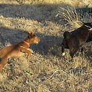 THE CHASE IS ON! Red kelpie & Manx Cat. by Rita Blom