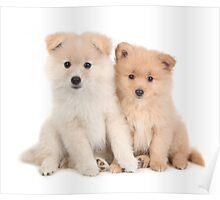 Cuddly Newborn Pomeranian Puppies Poster