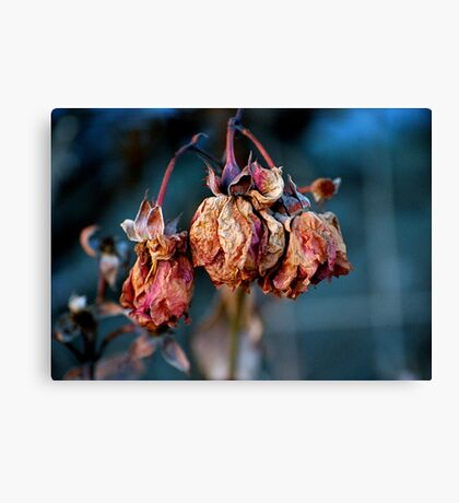 A Rose Is A Rose No More Canvas Print