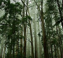 Misty Forest..,Mt Dandenong,Victoria,Australia by Max R Daely