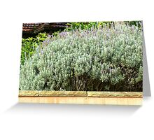 Lavender Bush Greeting Card