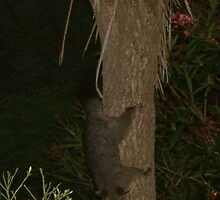 Possum coming down the Cabbage tree. by cepnz