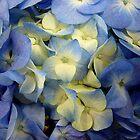 Hydrangea Blues by clizzio