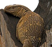 Rock Monitor Resting in Hollow Tree Trunk by Aldi221
