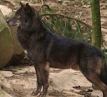 Alpha Male Grey Wolf by Franco De Luca Calce