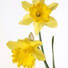 two yellow daffodils by OldaSimek